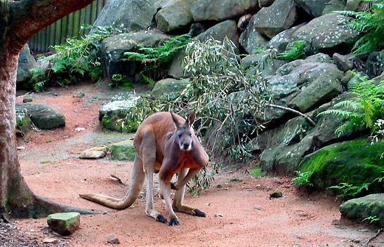 red kangaroo at the Taronga Zoo