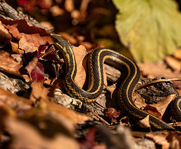 Canadian snake