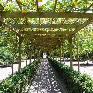 lemons at Lotusland