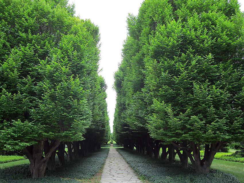 allée of hemlock trees at the Botanical Gardens