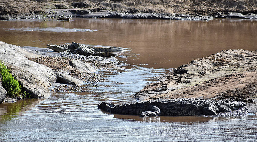 Nile crocodiles at the Mara River Crossing