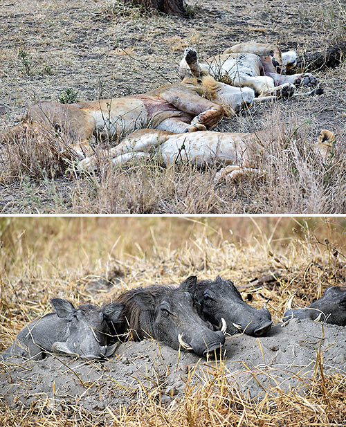 lions and wart hogs at the Serengeti