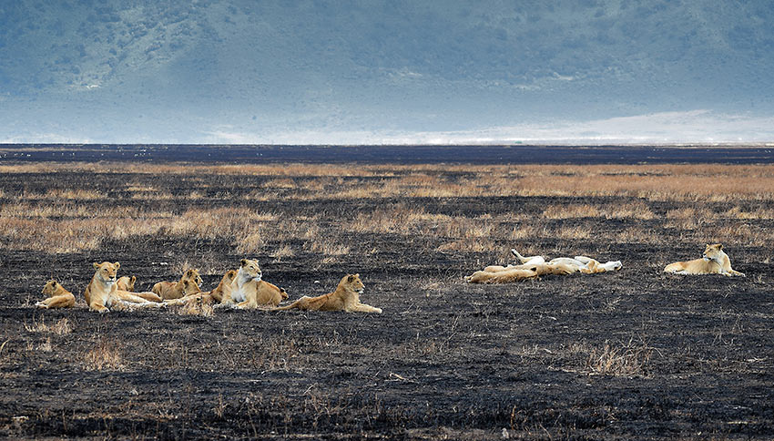 lions at the Ngorongoro Crater