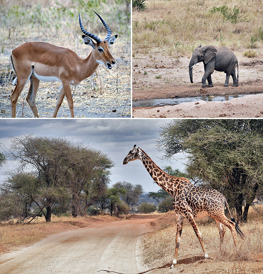 more wildlife at Tarangire National Park
