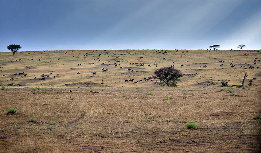 wildebeest herd in the Serengeti
