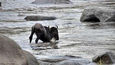 wildebeest struggling against a crocodile
