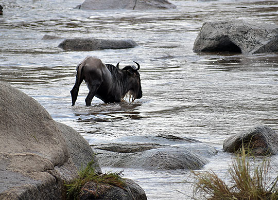 wildebeest struggling against a crocodile
