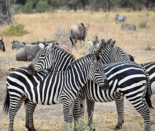 zebras at the Serengeti