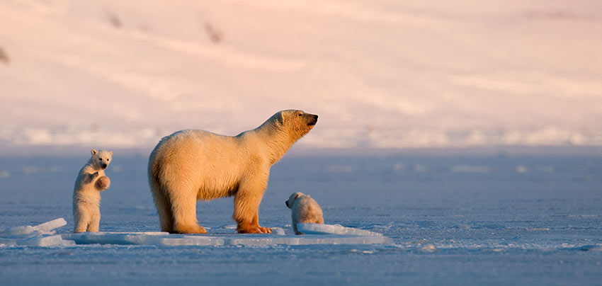 polar bear and cubs at Svalbard, Norway