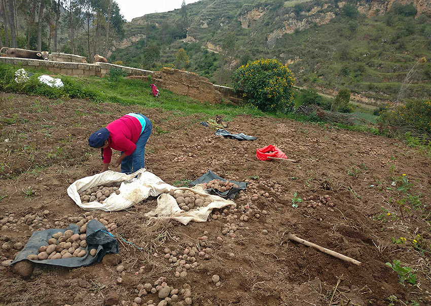 planting potatoes in Huaricolca