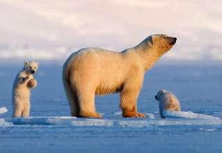 Svalbard polar bear and cubs