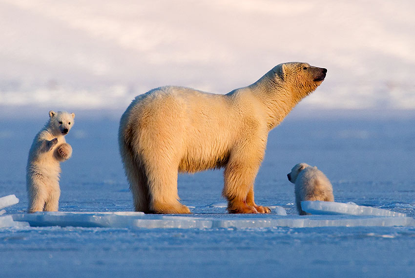 Svalbard polar bear and cubs
