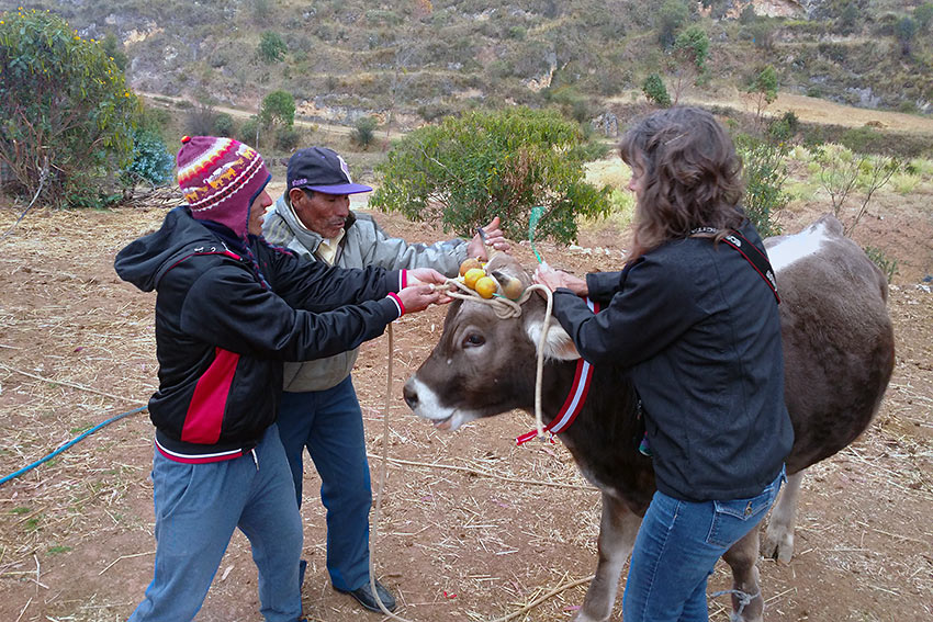 Santiago: placing ribbons and other decorations on a cow