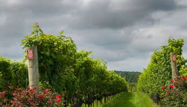 Stone Tower vineyards
