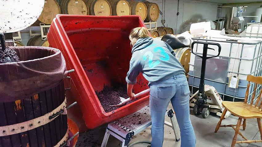 shoveling grapes at Plum Hill