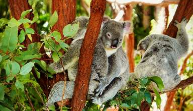 koalas at the zoo