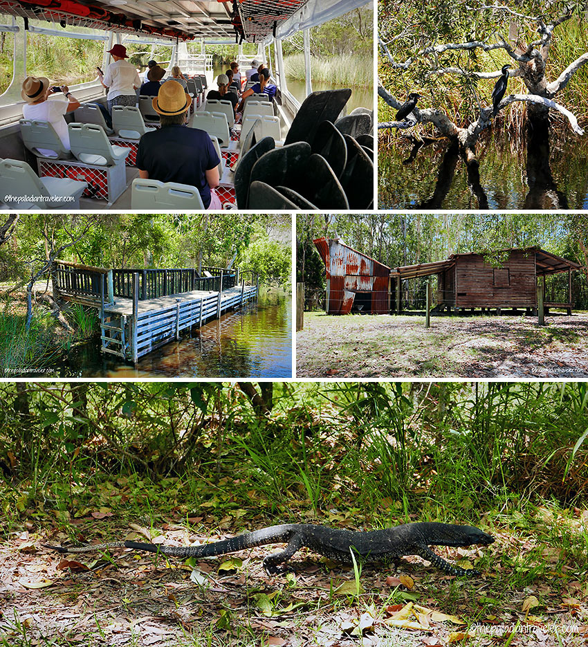 wetlands, a historic logger's camp and monitor lizard, Noosa Everglades