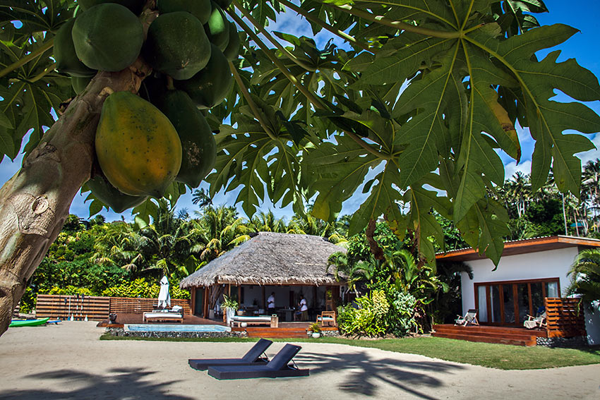 papayas at Tides Reach with lodge and bungalows in the background, Taveuni Island