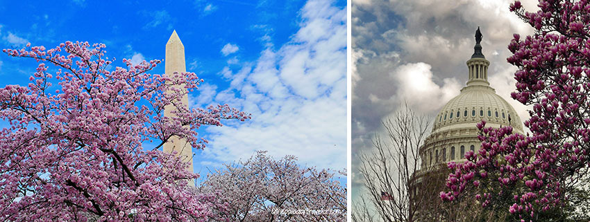 cherry blossoms near the Washington Monument and the Capitol Building