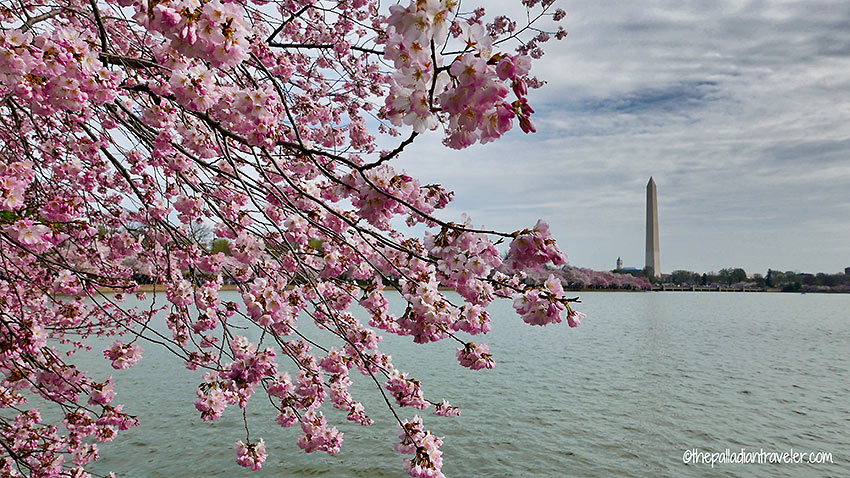 cherry tree blossoms at the Tidal Basin with the Washington Monument in the background