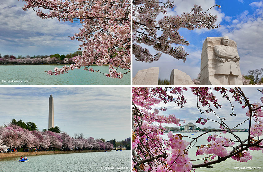 cherry blossoms in different parts of Washington DC