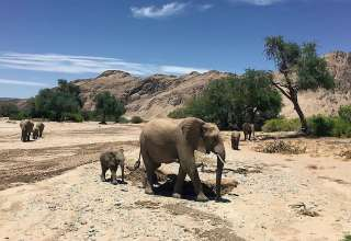 desert elephants at the Skeleton Coast