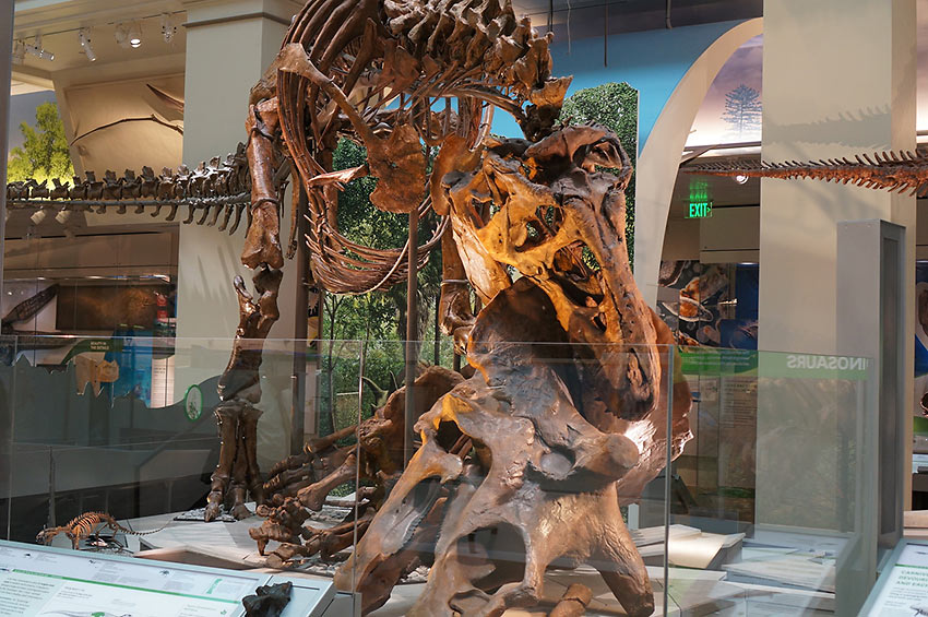 T-Rex and triceratops fossils exhibit at Fossil Hall
