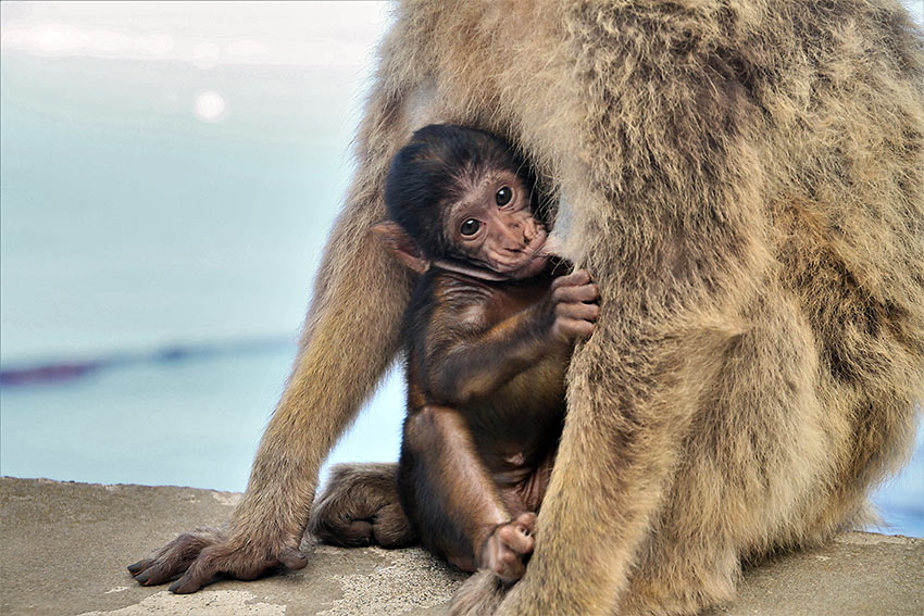 baby monkey with it mother, Gibraltar