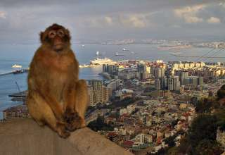 Barbary monkey with the ms Veendam and the Strait of Gibraltar in the background