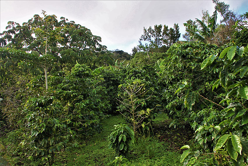 coffee fields, Monteverde