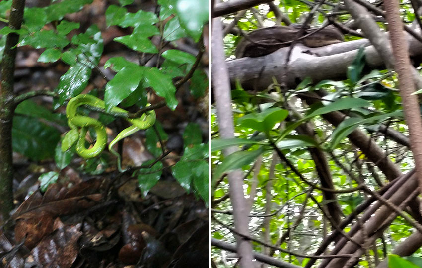 boa constrictor and viper in a Costa Rican rainforest