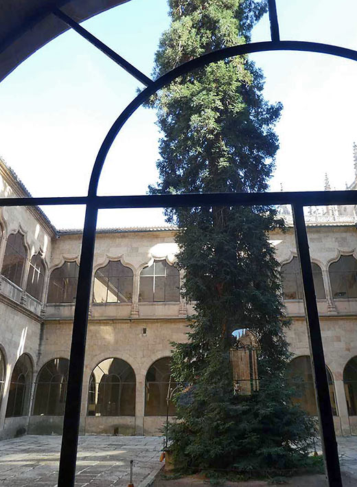 ancient redwood tree in the Salamanca library courtyard