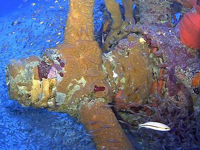 coral-covered propeller of a U.S. SBD-5 Dauntless dive bomber, Truk Lagoon