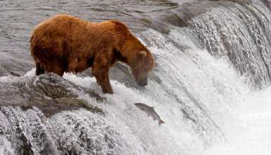 young bear fishing for salmon, Denali National Park