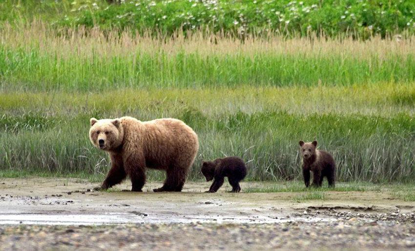 mother bear with cubs, Denali National Park