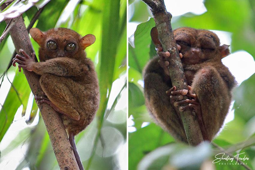 tarsiers at a sanctuary in Bilar town