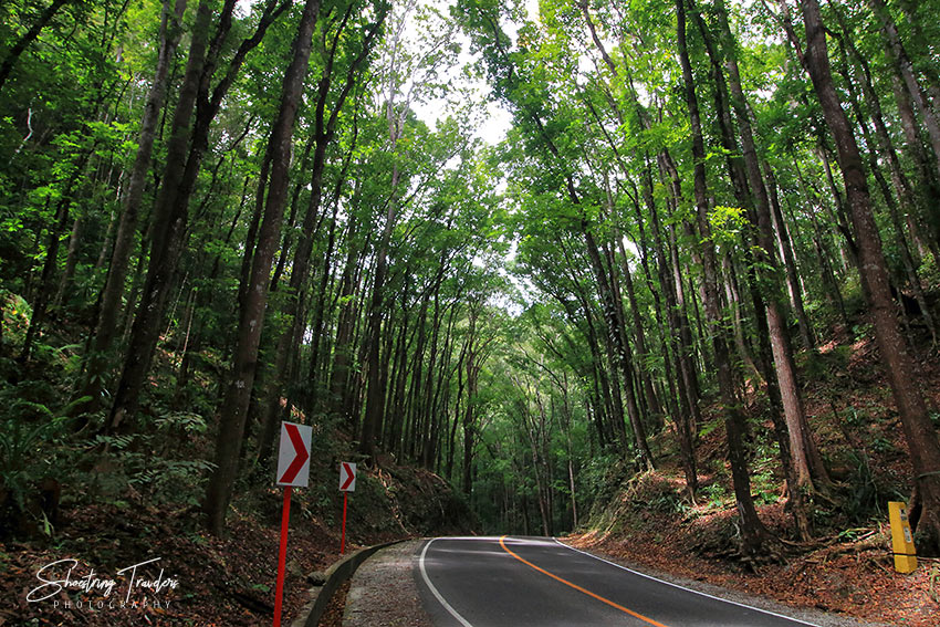 the Manmade Mahogany Forest in Bilar