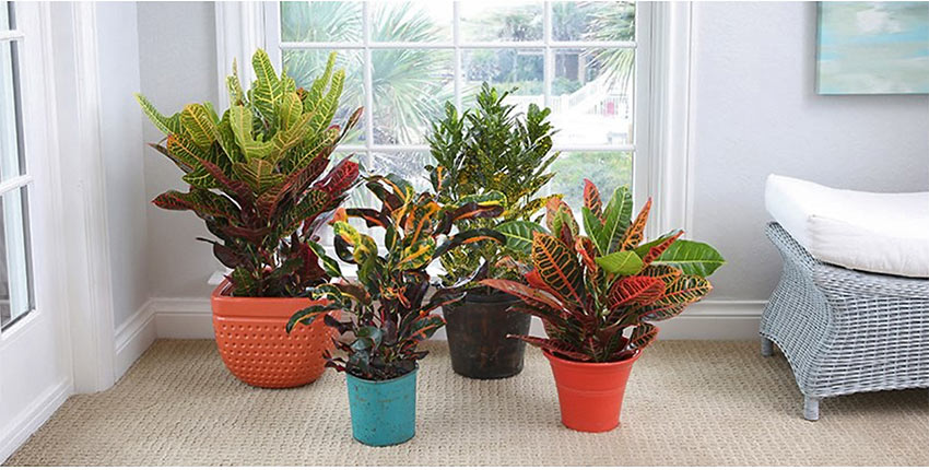 crotons from Costa Farms
