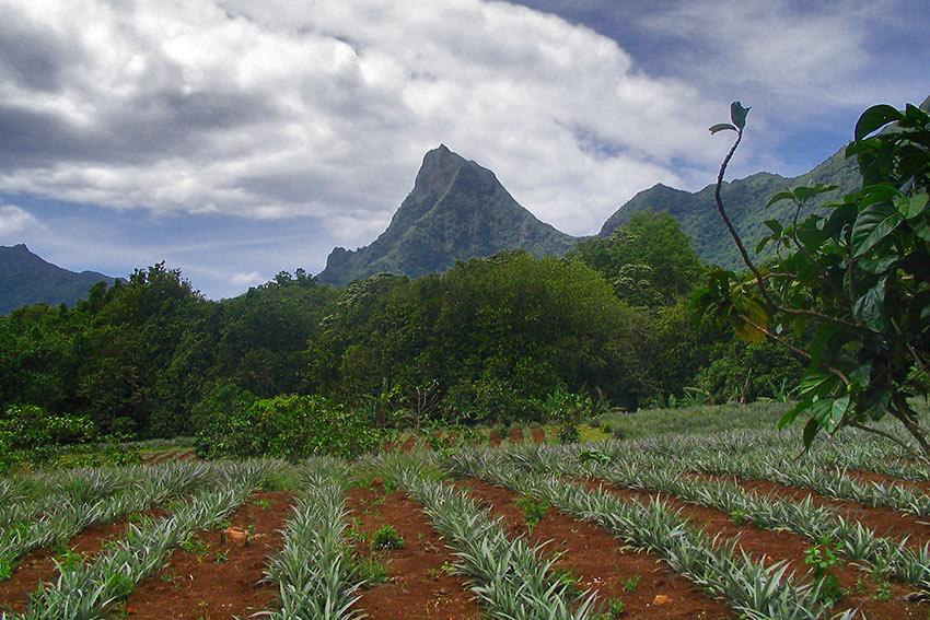 pineapple plantation in Tahiti
