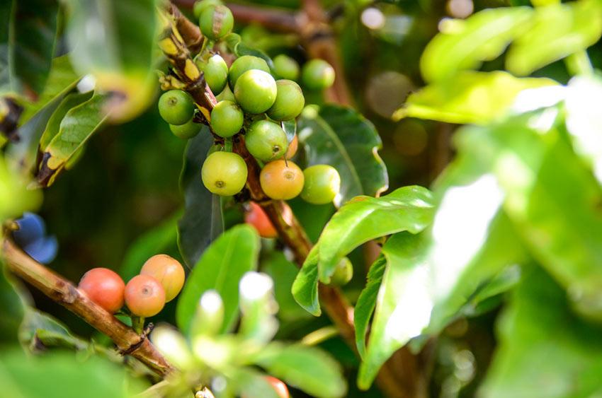 coffee beans at a Kaanapali coffee farm