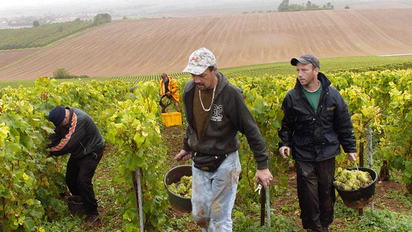 Samuel Delhaye, Miguel Delhaye, and Michel Waret hard at working picking grapes