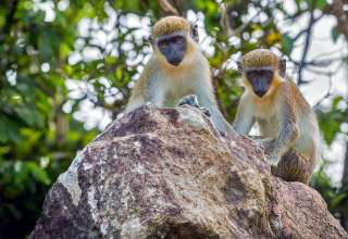 monkeys on Nevis