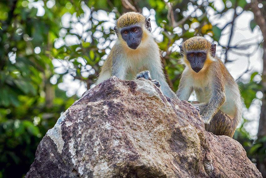 monkeys on Nevis