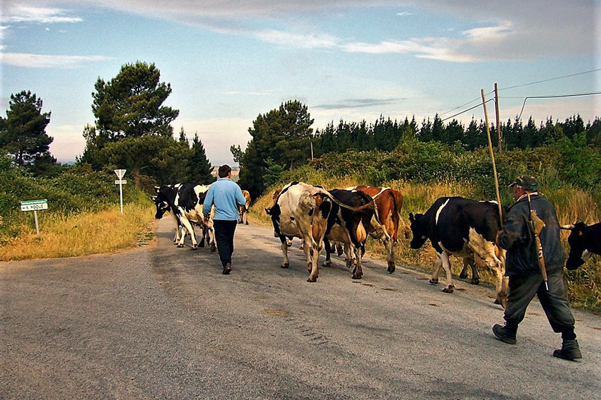 cattle on the Camino de Santiago Pilgrim Trail