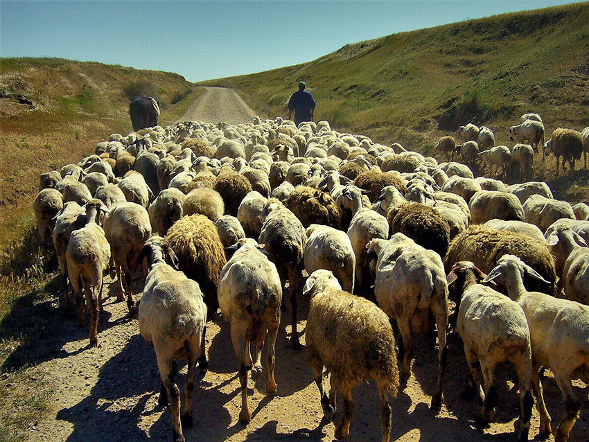 sheep at the Camino de Santiago Pilgrim Trail