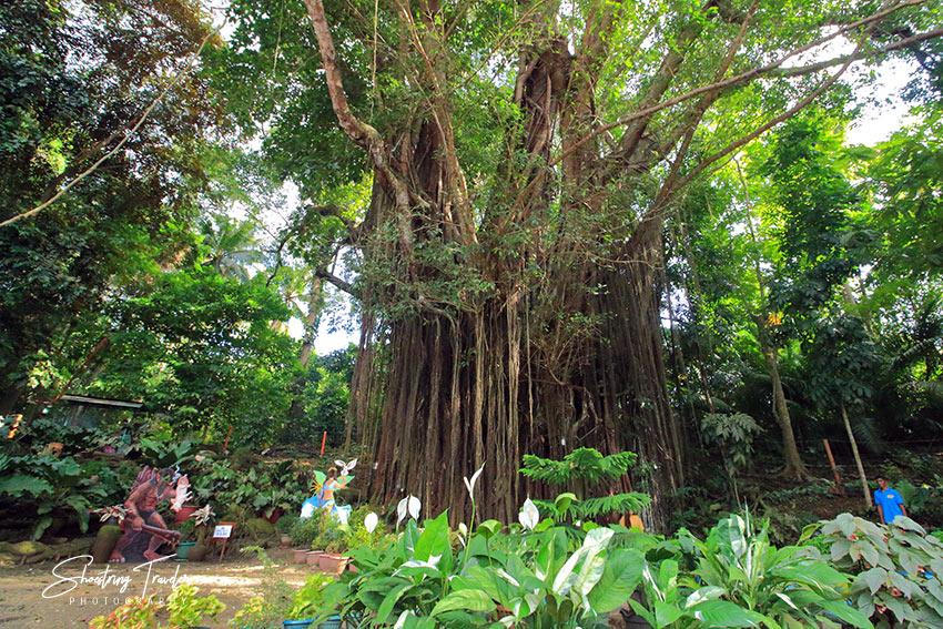 the Centuries-Old Balete Tree in Lazi