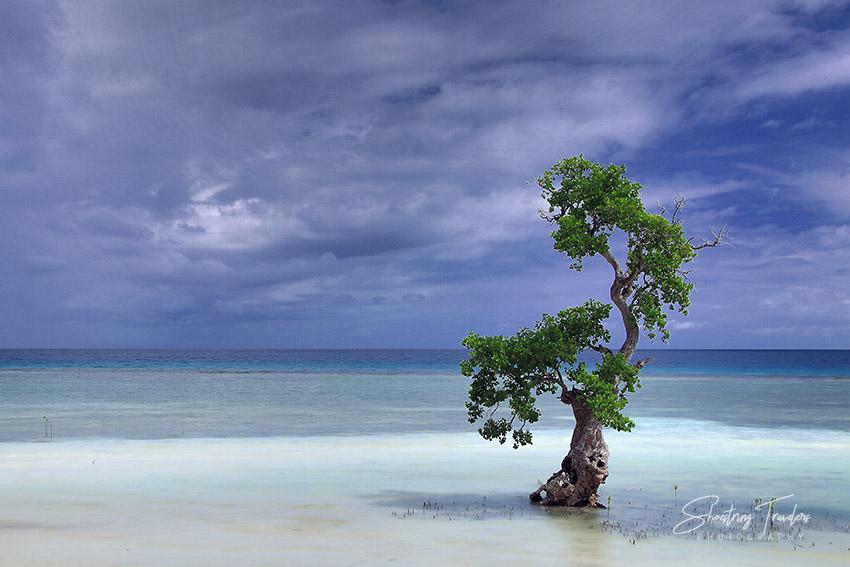 mangrove tree on the coast near the Bino-ongan and Tulapos Marine Protected Areas in Enrique Villanueva, Siquijor