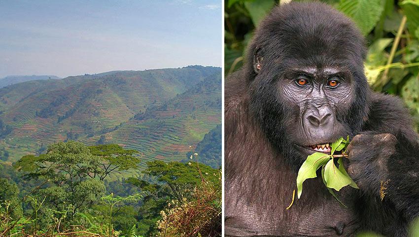 Bwindi Impenetrable National Park and mountain gorilla