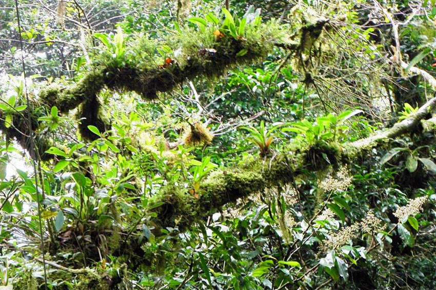 epiphytes at Monteverde Cloud Forest, Costa Rica