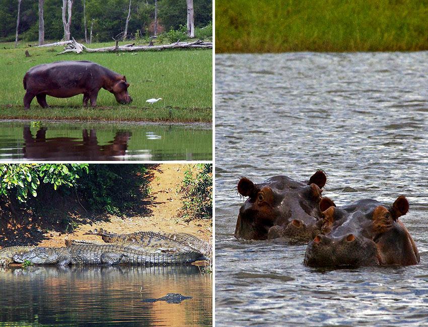 hippos and crocodiles at Lake Kariba